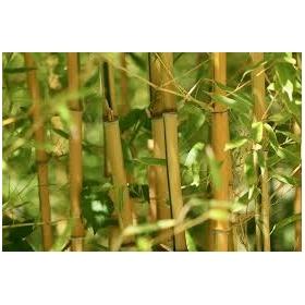 Bamboo 120 cm pack de 25 pc